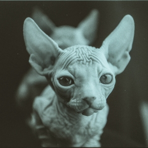 Grayscale photography of sphinx cat